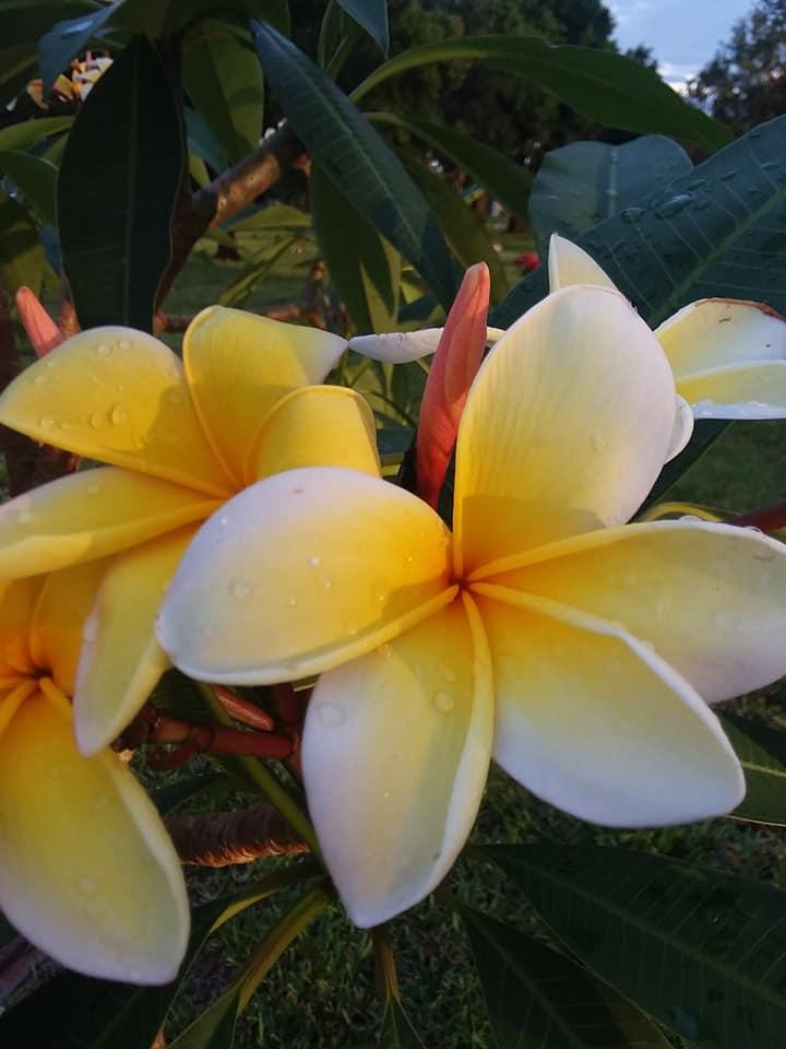 Frangipani 1 Yellow